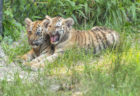 Two Rare Tiger Cubs Join the Wild Family at Six Flags Safari