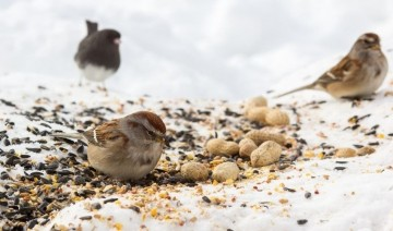 Wild Bird Diets in Winter