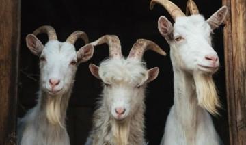 Goat Care 101