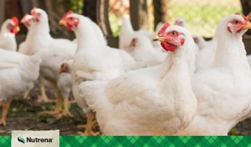The Power of Probiotics: Maximizing Meat-Bird Potential