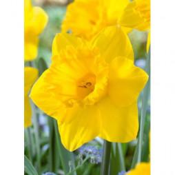 Netherland Bulb Daffodil Dutch Master Value Bag Pack of 50