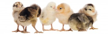 The 2021 Chick Season Is Here!