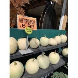 Round White Pumpkins