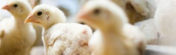 Select Chicken Feed on Sale Now!