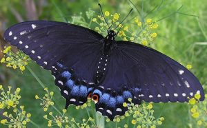 Butterflly
