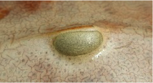 eye of a crab