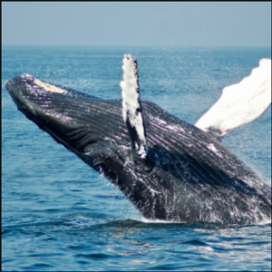 Counting Whales from Space