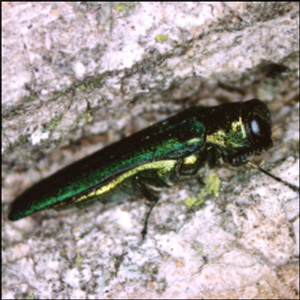 The Invasion of the Emerald Ash Borer
