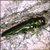 Read more about The Invasion of the Emerald Ash Borer