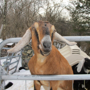 Dog and goat vie for honorary mayor of Fair Haven, Vermont
