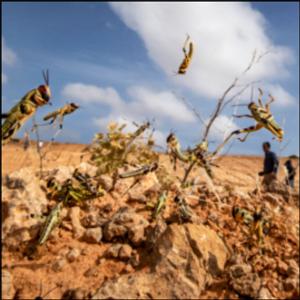 UN warns of 'major shock' as Africa locust outbreak spreads
