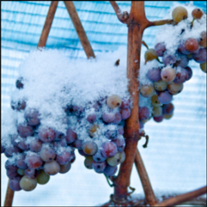 No ice wine for you: Warm winter nixes special German wine