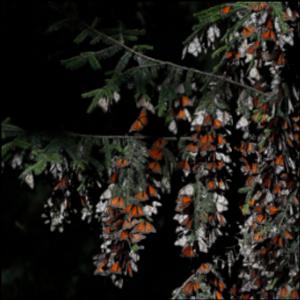 Mexico: Monarch butterflies drop 53% in wintering area