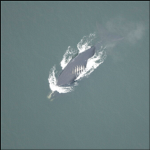 Whales face more fatal ship collisions as waters warm
