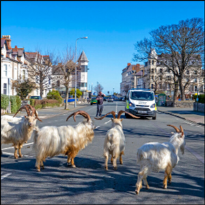 Un-baaaaa-lievable: Goats invade locked-down Welsh town
