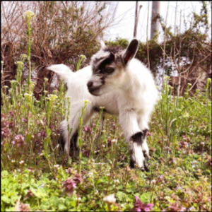 Baby goat stolen from Baltimore garden reunited with owners