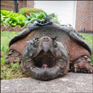 Oh snap! Police capture 65-pound turtle from Virginia suburb