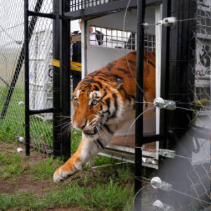 Abused circus animals arrive at South African sanctuary