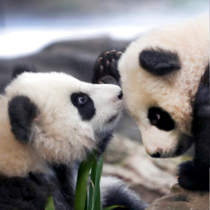 Berlin zoo's panda twins take their first public tumbles