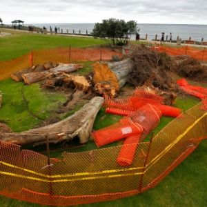 Tree that some say inspired Dr. Seuss' 'The Lorax' topples