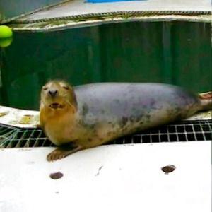 UK study shows seal singing 'Twinkle, Twinkle, Little Star'