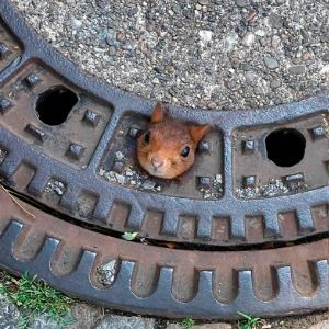 German firefighters rescue squirrel stuck in manhole cover