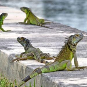 Reptile invasion: Florida agency encourages killing iguanas