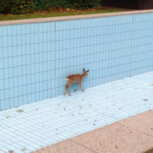 Germany: Hunter helps free deer from swimming pool