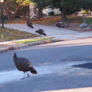 NJ will trap turkeys troubling Jersey Shore neighborhood