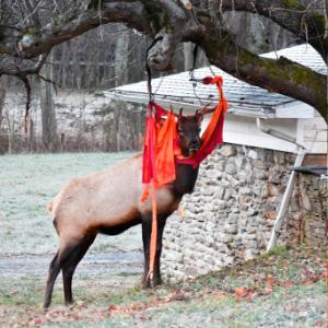 'Thanksgiving antics' NC elk gets tangled up in red hammock