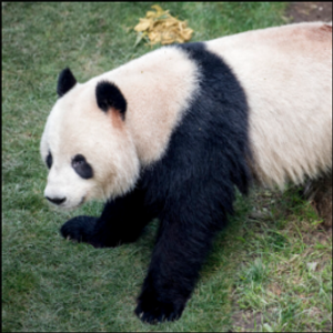 Panda escapes from enclosure at Danish zoo; returned safely
