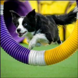 In the Pink: Border collie wins Westminster agility contest