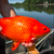 Read more about Unwanted pets: Giant goldfish turn up in Minnesota waterways