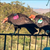 Read more about Flock of giant California condors trashes woman's home