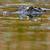 Read more about Louisiana gators thrive, so farmers' return quota may drop