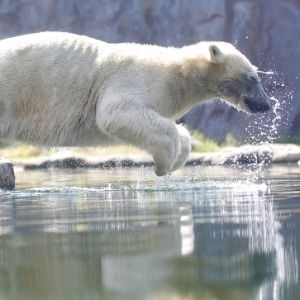 Orangutans, polar bears make a splash as Europe swelters
