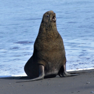 Home sweet volcano: Alaska fur seals thrive at unlikely spot