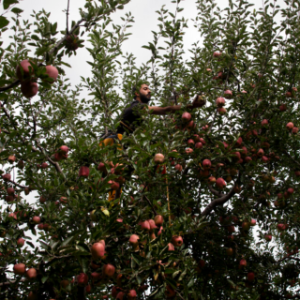 Apples rot on trees as Kashmir strife inflicts economic pain