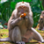 Read more about With no tourist handouts, hungry Bali monkeys raid homes