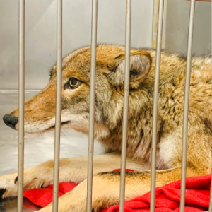 Official: DNA test to determine if coyote bit Chicago child