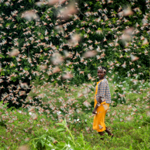UN: Africa's locust outbreak needs $76M 'by, actually, now'