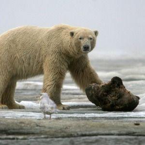 Trump's plan for finding oil in Alaska may put polar bears at risk