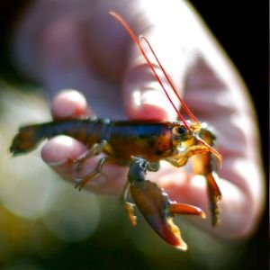 Baby lobster numbers spell trouble for shellfish population