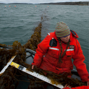 Slippery salvation: Could seaweed as cow feed help climate?