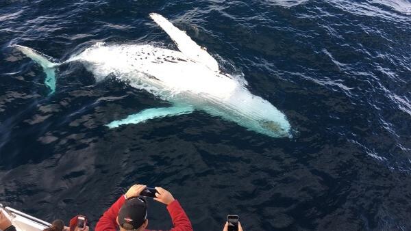 145 ballenas fueron halladas muertas en playas de Nueva Zelanda