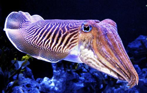 Cuddly Cuttlefish