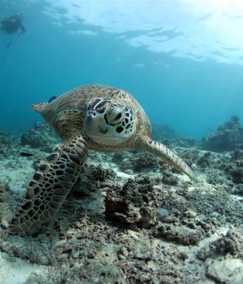 Turtle 32