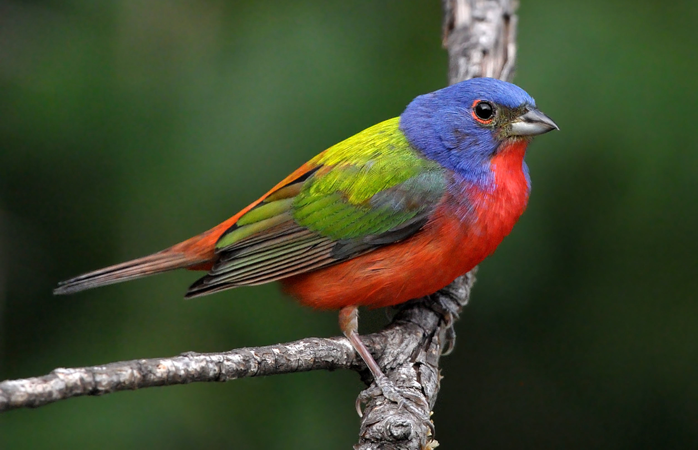 Painted bunting Little Tybee Island, GA