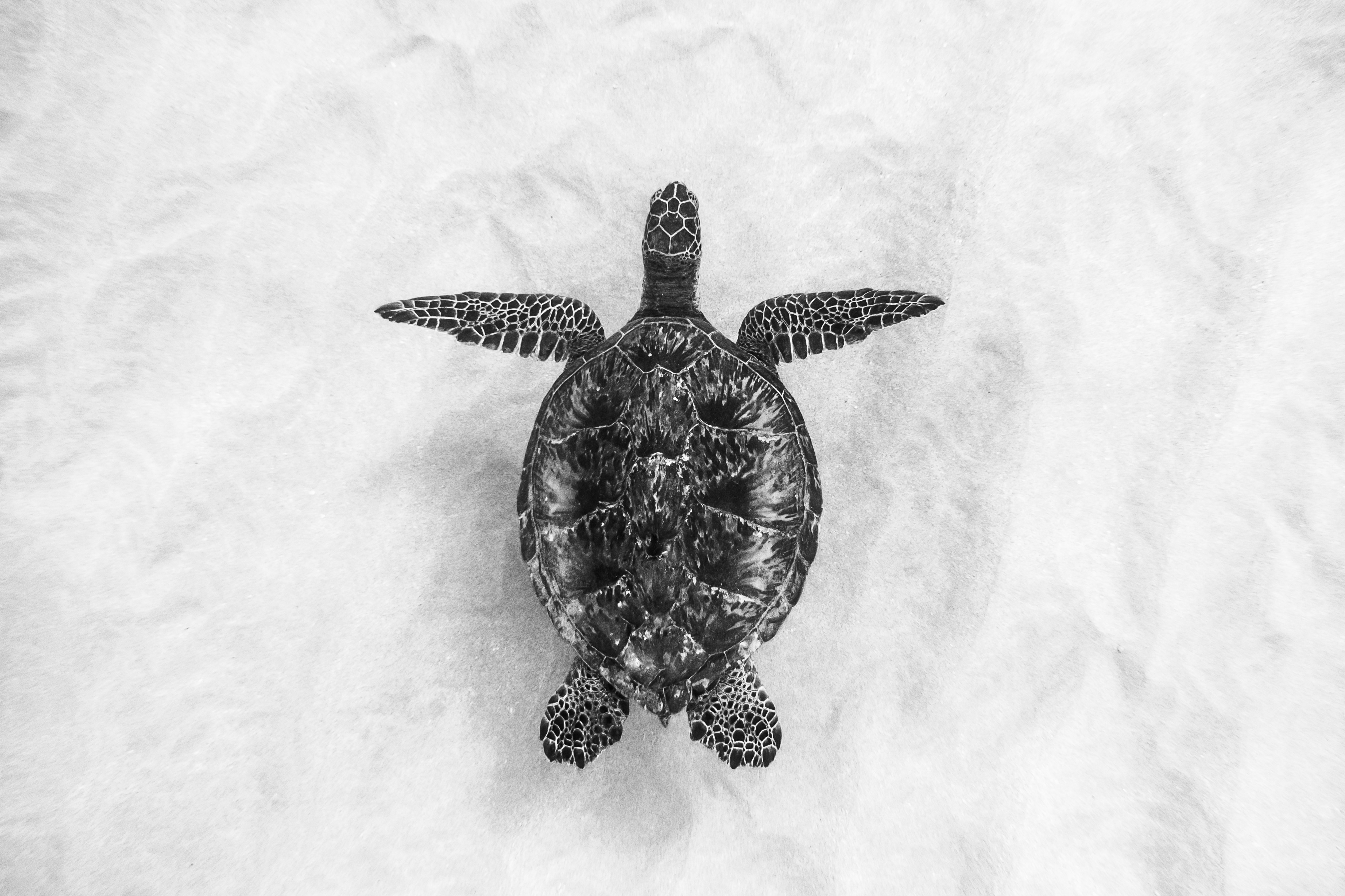 North Shore Hawaii Sea Turtle Black and White by Zach Stadler
