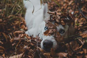 A dog rolling in Fall leaves